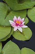 Science Photo Library - Nymphaea