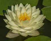 Gerry Gantt - Nymphaea Water Lily...