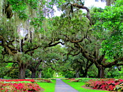 Tree Allee Framed Prints - Oak Allee Brookgreen  Framed Print by Randall Weidner