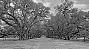 Slaves Digital Art Framed Prints - Oak Alley 3 monochrome Framed Print by Steve Harrington