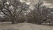 Oak Alley Plantation Photo Prints - Oak Alley 3 sepia Print by Steve Harrington