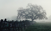 Sauvignon Blanc Framed Prints - Oak in the Fog. Framed Print by Stan Angel