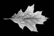 Silver Oak Framed Prints - Oak Leaf Black and White Framed Print by Jennie Marie Schell