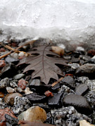 Steven Valkenberg - Oak leaf on a winter