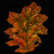 Paul Freidlund - Oak Leaf