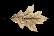 Light Taupe Posters - Oak Leaf Sepia Poster by Jennie Marie Schell