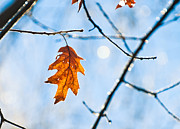 Sun Photos - Oak leaf Sparkles by Cheryl Baxter