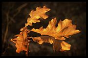 Frank Winters - Oak Leaves