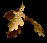 John Tidball Metal Prints - Oak Leaves in Autumn Metal Print by John Tidball