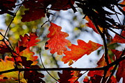 Steven Ralser Prints - Oak leaves Print by Steven Ralser
