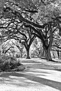 Louisiana Artist Prints - Oak Lined Path Print by Scott Pellegrin