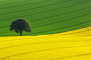Rapeseed Photos - Oak tree split by Richard Thomas