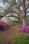 Oak Trees And Azaleas Print by Jack Nevitt