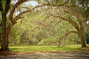 Lowcountry Prints - Oak Trees Draped with Spanish Moss Print by Kim Hojnacki