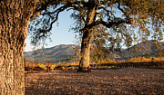 Kent Sorensen - Oak Trees in the Vineyard