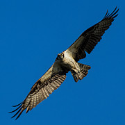 Will Abair - Observant Osprey