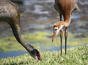 Cranes Prints - Observing Print by Carol Groenen