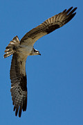 Flying Birds Prints - Obtuse Osprey Print by John Daly