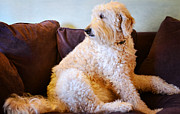 Goldendoodle Prints - Occupied Print by Fraida Gutovich