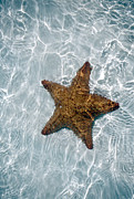 Carol Barrington - Ocean - Starfish