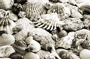 Seashell Fine Art Posters - Ocean Seashells 1 B W Poster by Andee Photography