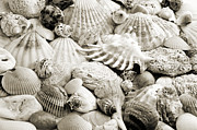 Seashell Fine Art Posters - Ocean Seashells 2 B W Poster by Andee Photography