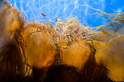 Jellyfish Pool Photos - Ocean Tendrils by Margaret Pitcher