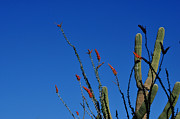 Diane Lent - Ocotillo and Saguaro
