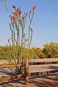 Kerri Mortenson - Ocotillo Wooden Fence