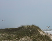 Ocracoke Dunes And Gulls Print by Cathy Lindsey