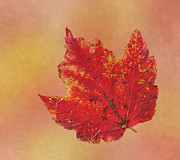 Red Leaf Posters - October Glory Poster by Angie Vogel