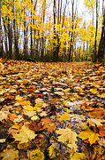 Laval Prints - October Maple Forest Print by Mircea Costina Photography
