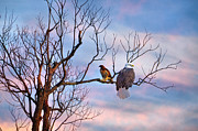 Bald Eagles Prints - Odd Couple Print by Emily Stauring