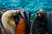 Terry Garvin - Odd Man Out California Sea Lions