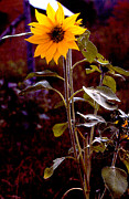 Ode To Sunflowers Print by Patricia Keller