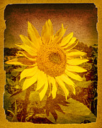 Texture Flower Framed Prints - Of Sunflowers Past Framed Print by Bob Orsillo