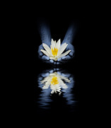 Hand Holding Framed Prints - Offering of the lotus Framed Print by Tim Gainey