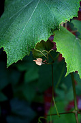 Grape Leaves Prints - Offspring Print by Ellen Cotton