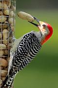 Woodpeckers Photos - Oh Nuts by Bill  Wakeley