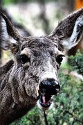 Mule Deer Buck Photograph Photos - Oh Really by Don Mann