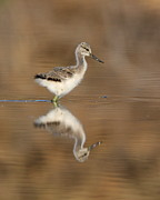 Ruth Jolly - OH so sweet Avocet chick
