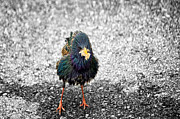 Starling Metal Prints - Oh Starling Metal Print by Steven  Michael