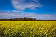 Nigel Hamer - Oil Rapeseed Field