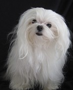 Maltese Dogs Photos - Ok Ok You Got My Attention by Margaret Newcomb