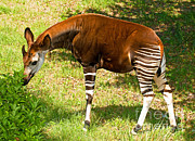 Okapi Print by Millard H. Sharp