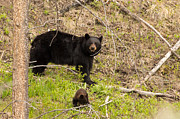 Black Bear Cubs Photos - Okay You Found Us by Natural Focal Point Photography