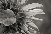 Carolyn Pettijohn - Oklahoma Sunflower Black and White