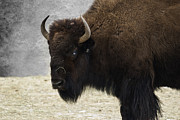 American Bison Photo Prints - Ol Blue Eyes Print by Juli Scalzi