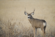 Mule Deer Buck Photograph Photos - Ol Broken Horn by Dianne Phelps