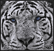 Asian Tiger Digital Art - Old Blue Eyes 2 by Peter Chapman